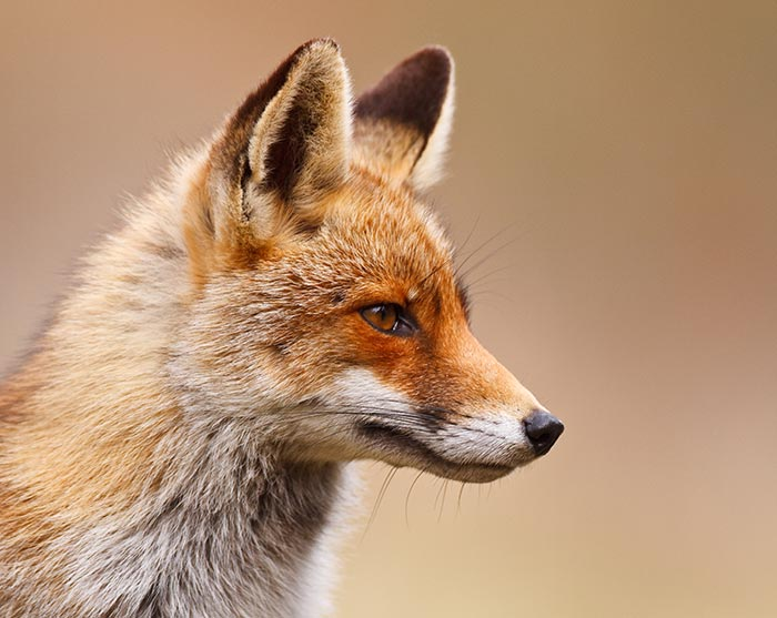Face of fox